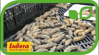Die besten Erdnuss Sorten aus Anbauversuchen von Lubera