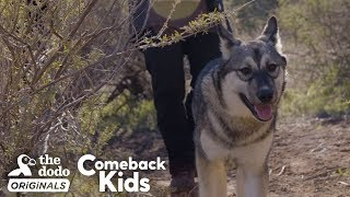 Baby Wolf Dog Bounces Back After Rough Start | The Dodo Comeback Kids  | The Dodo Comeback Kids by The Dodo