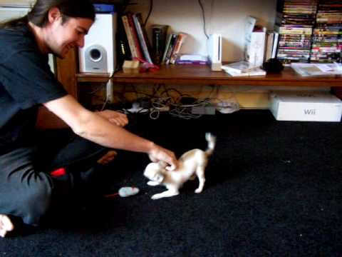 Bella chihuahua beginning clicker training – FETCH :)