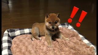 柴犬の子犬はお掃除ロボが苦手!?ほのぼのとした柴犬とお掃除ロボの静かなる戦い