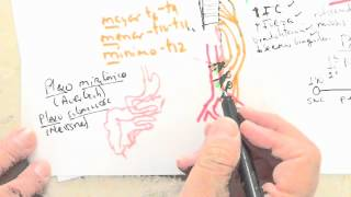 NEUROANATOMÍA 2.0: Sistema Nervioso Visceral