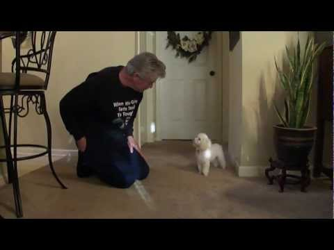 Teaching Toy Poodle Tricks (Gary instructing - Part 1) (видео)
