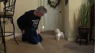 Teaching Toy Poodle Tricks (Gary Instructing - Part 1)