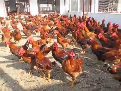 Hệ thống chuồng nuôi gà ta, thả vườn đơn giản, hiệu quả & tiết kiệm DABACO.