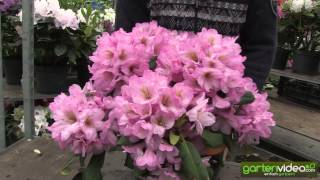 #1147 Rhododendron Hybride Duke of York