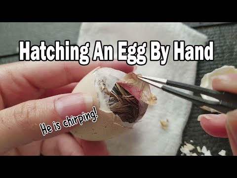 Vlog 3 Manually Hatching An Egg & Helping Chick Get Out | Vet Visit & Corgi Meetup