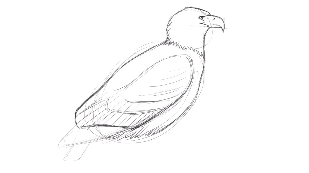 Drawing a Bald Eagle with David Allen Sibley