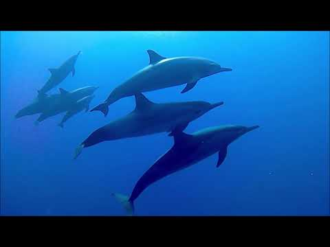 Pod of Spinner dolphins in the bay of Marsa Shagra 7-9-2018