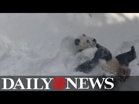 Piękne! Podekscytowana śniegiem panda w zoo w Waszyngtonie