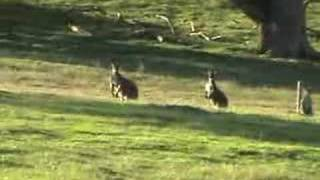 Cape Jervis Australia  City new picture : Kangaroos at Cape Jervis