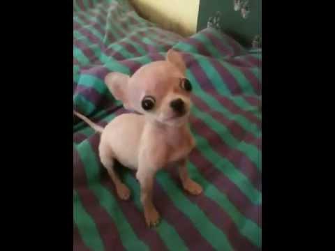 Ballerina Chihuahua extra Mini Teacup