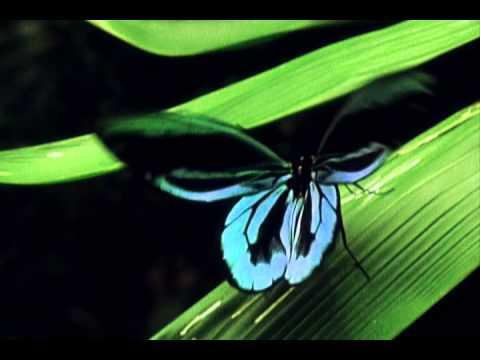 World's Largest Butterfly the Queen Alexandra's Birdwing
