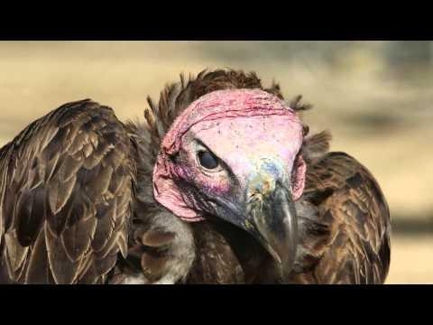 l'avvoltoio - un volatile da scoprire