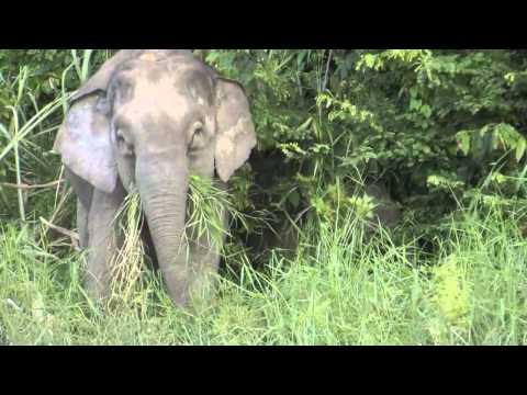 Wild Borneo: Bornean Pygmy Elephants