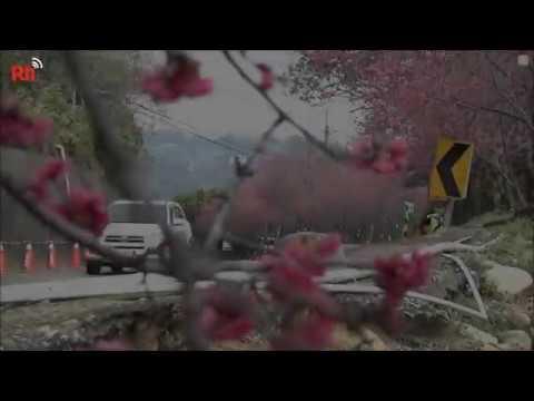 Frühe Blütenpracht der Zierkirschen auch in Zentraltai ...