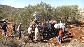 وزارة الاوقاف تنظم يوم تطوعي لقطف الزيتون في بلدة كفر اللبد