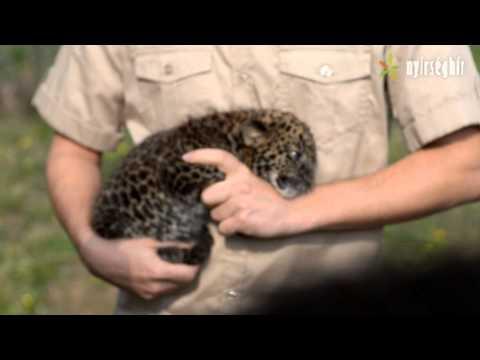 Leopárd kölyök első orvosi vizsgálata a Nyíregyházi Állatparkban