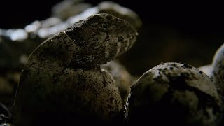 Hatching Of Tuatara Cannibals - Wild New Zealand - BBC Earth