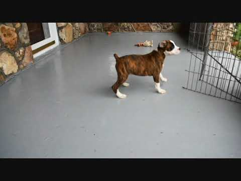 AKC Boxer Brindle Male Jack