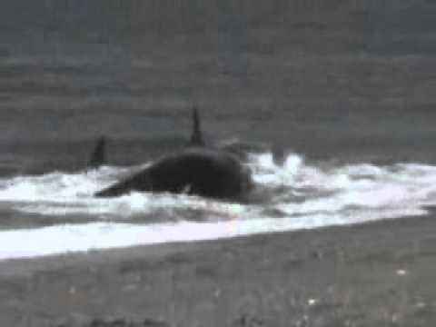 Baleia Orca Ataca e Come Banhista em Praia. HUMAN GETS DEVOURED BY WHALE mammals gone wild