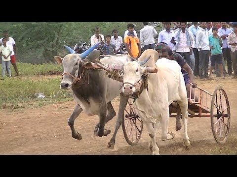 Bullock Cart Race Lokapur.Part 2.Bull Car-kompetisie.Elit cart bove. ਬਲੌਕ ਕਾਰਟ ਰੇਸ