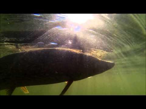 Lucio pescado con Rudra de OSP (Camara de Accion SJ4000)