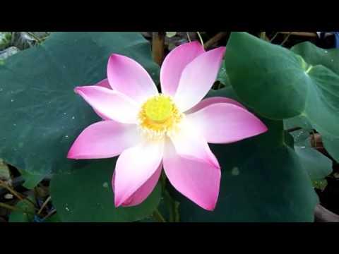 pink lotus @ ladda