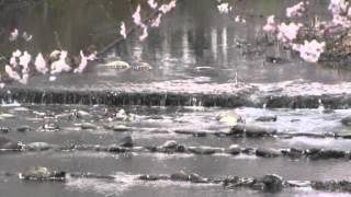 羽黒五条川サクラ満開・見どころ6羽黒橋