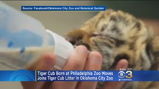 It will now join the Tiger Club Litter in Oklahoma City Zoo.
