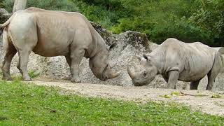 クロサイのペア4 Eastern black rhinoceros 2013 0927