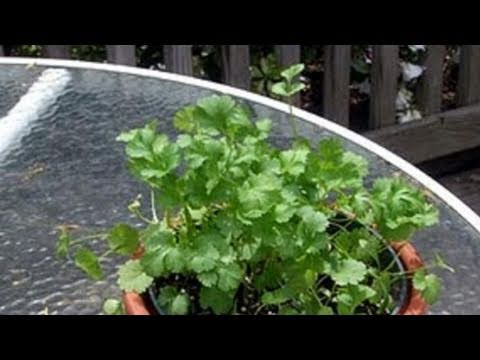 how to replant coriander
