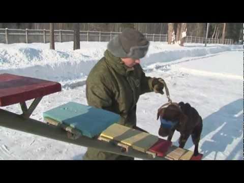 Как собаки служат в армии