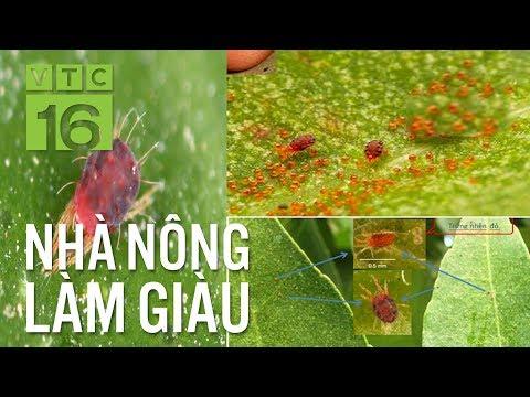 Bí kíp diệt nhện đỏ hại cây bưởi | VTC16 - Thời lượng: 10 phút.