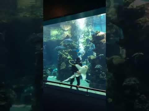 Sukeltaja rapsuttelee haikalaa – aivan kuin koira!