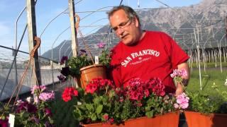#393 Pelargonien und Geranienbepflanzung für Balkonkisten (mit Elfenblume)