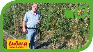 Die resistenteste gelbe Cherrytomate