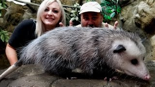 Cute or Not? Playing Opossum by Prehistoric Pets TV