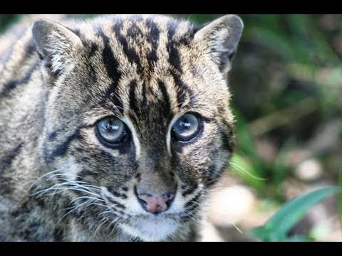 What's killing the Fishing Cat?