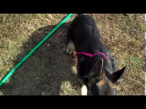 Nanas Miss Strawberry Macaroon Black and Tan Female Puppy