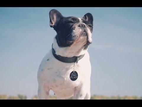 Французский Бульдог ➠ Узнайте все о породе собаки
