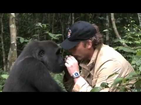 reincontra il cucciolo di gorilla salvato anni fa. ecco la reazione!