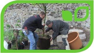 Ippenburger Gartentipps: Wie pflanzt man einen grossen Kakibaum