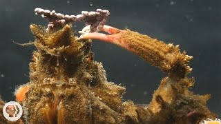 """When you live by the seashore, one day you're in, the next day you're lunch. So these crabs don the latest in seaweed outerwear and anemone accessories to blend in.SUBSCRIBE to Deep Look! http://goo.gl/8NwXqtDEEP LOOK is a ultra-HD (4K) short video series created by KQED San Francisco and presented by PBS Digital Studios. See the unseen at the very edge of our visible world. Get a new perspective on our place in the universe and meet extraordinary new friends. Explore big scientific mysteries by going incredibly small.* NEW VIDEOS EVERY OTHER TUESDAY! *As fans of the hit TV show Project Runway know, in fashion one day you're in, and the next day you're out. Nowhere is this truer than in the animal kingdom. One minute you're a crab minding your own business in a tide pool, and the next, you're a seagull's snack.Unless you're a decorator crab, that is, and you use this season's seaweed to save your life. There are nearly 700 species of decorator crabs around the world – about a dozen of them in California, where they live in tide pools and kelp forests. They camouflage by decorating their heads, or their entire bodies depending on the species, with pieces of seaweed, anemones or other materials around them, which they attach securely to a natural Velcro that grows right on their bodies. """"It's not a glue or anything; they have these hooked hairs all over their shells,"""" said biologist Jay Stachowicz, who studies decorator crabs at the University of California, Davis. """"Through microscope photography we can see that it looks just like Velcro, except probably even better, even more hooked.""""These golden-colored hairs are thick and curled to form long rows. Some species of decorator crabs have these rows of hooked hairs only on their heads; others, on their entire bodies. At his lab at UC Davis' Bodega Marine Lab in Bodega Bay, Stachowicz collects crabs off the coast, places them in tanks, gives them some seaweed and watches them go to work. The process is more exciting than"""
