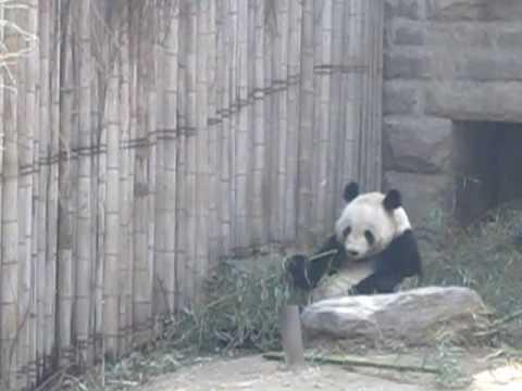 國寶吃竹子