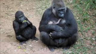 A família de gorilas do zoológico de Belo Horizonte não para de crescer. A primata Imbi, da subespécie Gorilla gorilla gorila, teve o seu segundo filhote.