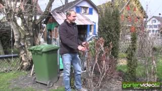 #1016 Wie schneide ich Strauchpfingstrosen (Paeonia)