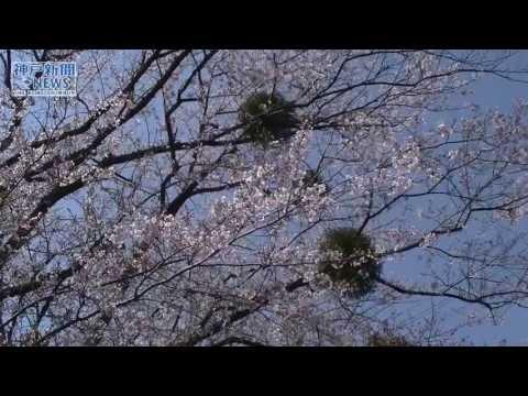 ヤドリギと咲く恋の花 薬師山