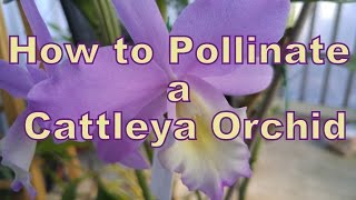 Maybe you just want to pollinate for fun, or maybe you have the best 2 Cattleyas in the world and want to pass those genetics on to an even more awesome hybrid! If so, then allow me to walk you through the easy process of pollinating your own orchid, specifically Cattleyas!FOLLOW ME ON FACEBOOK: https://www.facebook.com/holycityorchidsFOLLOW ME ON TWITTER: https://twitter.com/BulbofettFOLLOW ME ON INSTAGRAM: https://instagram.com/holycityorchids/