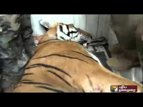 Casualties-caused-by-tiger-attacks