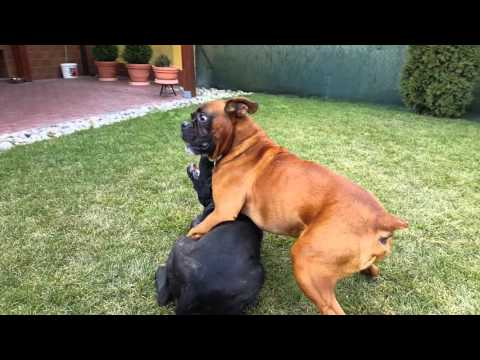 Cane Corso DRAGO 4 months old vs. Boxer dog ROCKY 6 years old